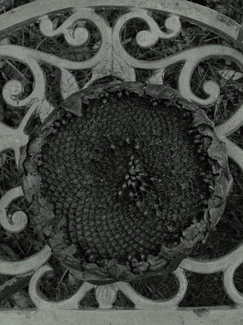 Jacob Farrell sunflower - 500 wide